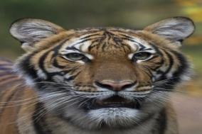 뉴욕 브롱크스동물원 호랑이, 코로나19 확진