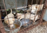 동물자유연대, 정읍시 유기동물보호소 유기견들 개도살장 유입실태 고발